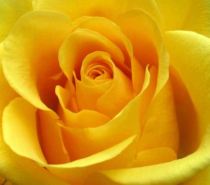 Yellow rose is the flower of friendship